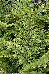 Japanese Tassel Fern (Polystichum polyblepharum) at GardenWorks