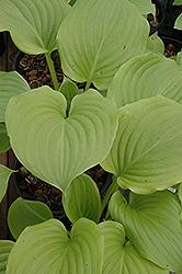 Aphrodite Hosta (Hosta 'Aphrodite') at GardenWorks