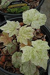Mystic Mist Foamflower (Tiarella 'Mystic Mist') at GardenWorks