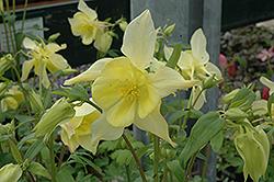 Music Yellow Columbine (Aquilegia 'Musik Yellow') at GardenWorks