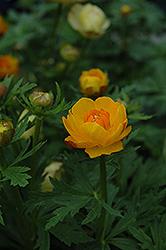 Orange Crest Globeflower (Trollius x cultorum 'Orange Crest') at GardenWorks