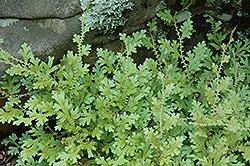 Peacock Spikemoss (Selaginella uncinata) at GardenWorks