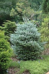 Silver Korean Fir (Abies koreana 'Silberlocke') at GardenWorks