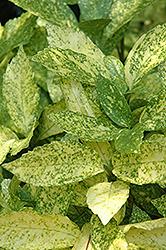 Gold Dust Aucuba (Aucuba japonica 'Gold Dust') at GardenWorks