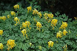 Golden Corydalis (Corydalis lutea) at GardenWorks