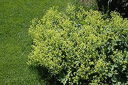 Lady's Mantle (Alchemilla mollis) at GardenWorks
