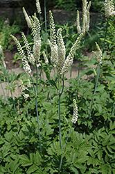 American Bugbane (Cimicifuga racemosa) at GardenWorks