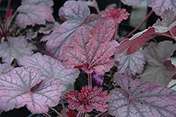 Midnight Bayou Coral Bells (Heuchera 'Midnight Bayou') at GardenWorks