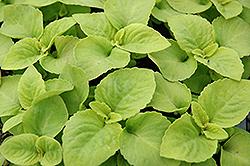 Versa Lime Coleus (Solenostemon scutellarioides 'Versa Lime') at GardenWorks