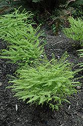 Western Maidenhair Fern (Adiantum aleuticum) at GardenWorks