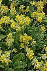 English Cowslip (Primula veris) at GardenWorks