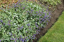 Trevi Fountain Lungwort (Pulmonaria 'Trevi Fountain') at GardenWorks