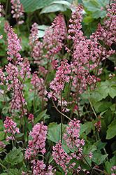 Dayglow Pink Foamy Bells (Heucherella 'Dayglow Pink') at GardenWorks
