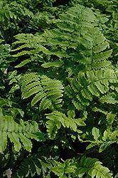 Shaggy Shield Fern (Dryopteris cycadina) at GardenWorks