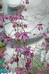 False Columbine (Semiaquilegia ecalcarata) at GardenWorks