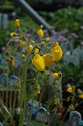 Goldcap Pocketbook Flower (Calceolaria biflora 'Goldcap') at GardenWorks