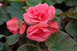 Solenia Light Pink Begonia (Begonia x hiemalis 'Solenia Light Pink') at GardenWorks