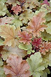 Marmalade Coral Bells (Heuchera 'Marmalade') at GardenWorks