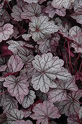 Sugar Plum Coral Bells (Heuchera 'Sugar Plum') at GardenWorks