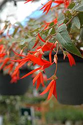 Bonfire Begonia (Begonia boliviensis 'Bonfire') at GardenWorks