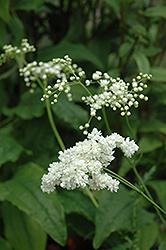 Plena Double Dropwort (Filipendula vulgaris 'Plena') at GardenWorks