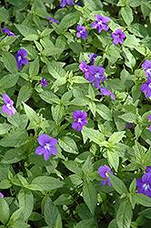Blue Bells Amethyst Flower (Browallia speciosa 'Blue Bells') at GardenWorks