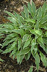 Stiletto Hosta (Hosta 'Stiletto') at GardenWorks