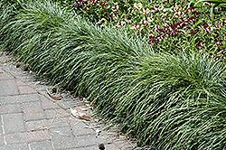 Snake's Beard (Ophiopogon japonicus) at GardenWorks