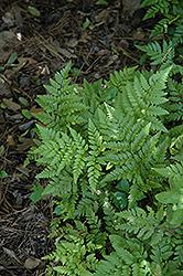 Leatherleaf Fern (Rumohra adiantiformis) at GardenWorks