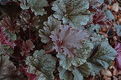 Dark Secret Coral Bells (Heuchera 'Dark Secret') at GardenWorks