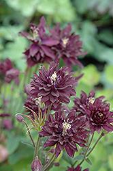 Clementine Dark Purple Columbine (Aquilegia vulgaris 'Clementine Dark Purple') at GardenWorks