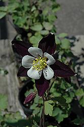 Colorado Violet and White Columbine (Aquilegia 'Colorado Violet and White') at GardenWorks