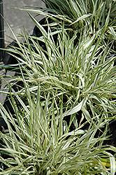 Fubuki Hakone Grass (Hakonechloa macra 'Briform') at GardenWorks
