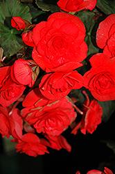 Solenia Red Begonia (Begonia x hiemalis 'Solenia Red') at GardenWorks
