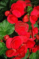 Solenia Cherry Begonia (Begonia x hiemalis 'Solenia Cherry') at GardenWorks