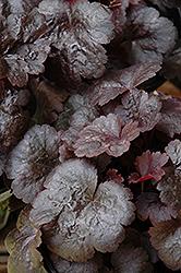 Gotham Coral Bells (Heuchera 'Gotham') at GardenWorks
