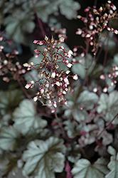 Stainless Steel Coral Bells (Heuchera 'Stainless Steel') at GardenWorks