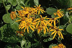 Othello Rayflower (Ligularia dentata 'Othello') at GardenWorks