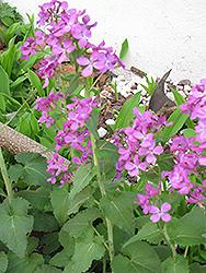 Biennial Money Plant (Lunaria annua) at GardenWorks