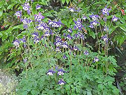 Blue Butterflies Columbine (Aquilegia 'Blue Butterflies') at GardenWorks
