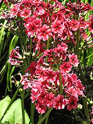 Miller's Crimson Primrose (Primula japonica 'Miller's Crimson') at GardenWorks