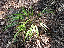 Red Wind Hakone Grass (Hakonechloa macra 'Beni-Kaze') at GardenWorks