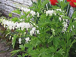 White Bleeding Heart (Dicentra spectabilis 'Alba') at GardenWorks