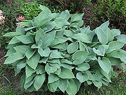 Halcyon Hosta (Hosta 'Halcyon') at GardenWorks