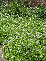 Sweet Woodruff (Galium odoratum) at GardenWorks