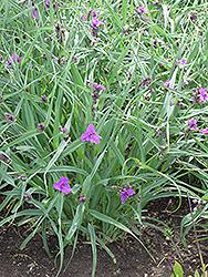 Concord Grape Spiderwort (Tradescantia x andersoniana 'Concord Grape') at GardenWorks