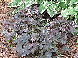 Burnished Bronze Foamy Bells (Heucherella 'Burnished Bronze') at GardenWorks