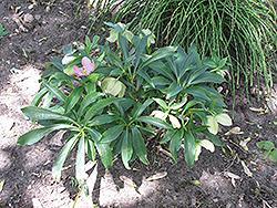 Winter Jewels Cherry Blossom Hellebore (Helleborus 'Cherry Blossom') at GardenWorks