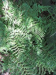 Male Fern (Dryopteris filix-mas) at GardenWorks