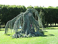 Weeping Blue Atlas Cedar (Cedrus atlantica 'Glauca Pendula') at GardenWorks